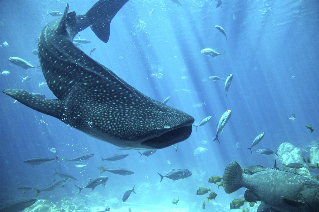 whale shark2 Whale Shark The Worlds Biggest Fish