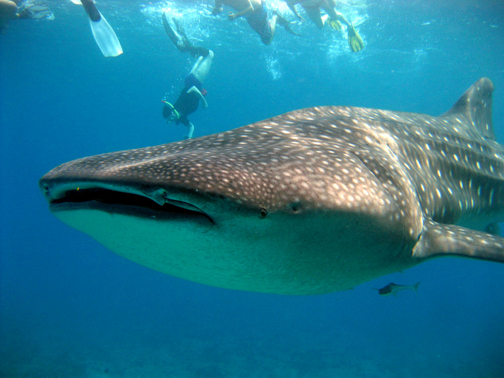whale shark7 Whale Shark The Worlds Biggest Fish