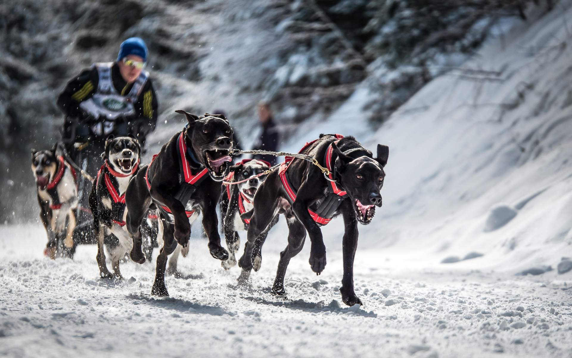 sled dog The World Championship of Sled Dog in Black Forest, Germany
