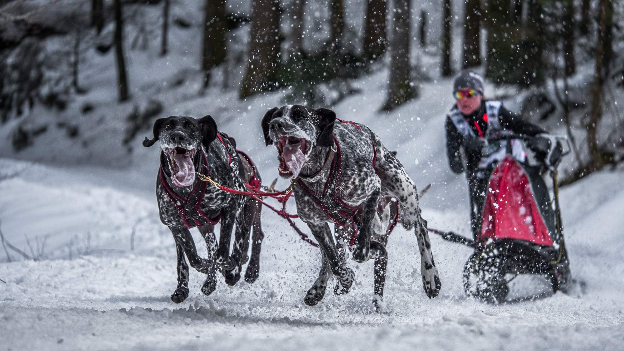 sled dog1 The World Championship of Sled Dog in Black Forest, Germany