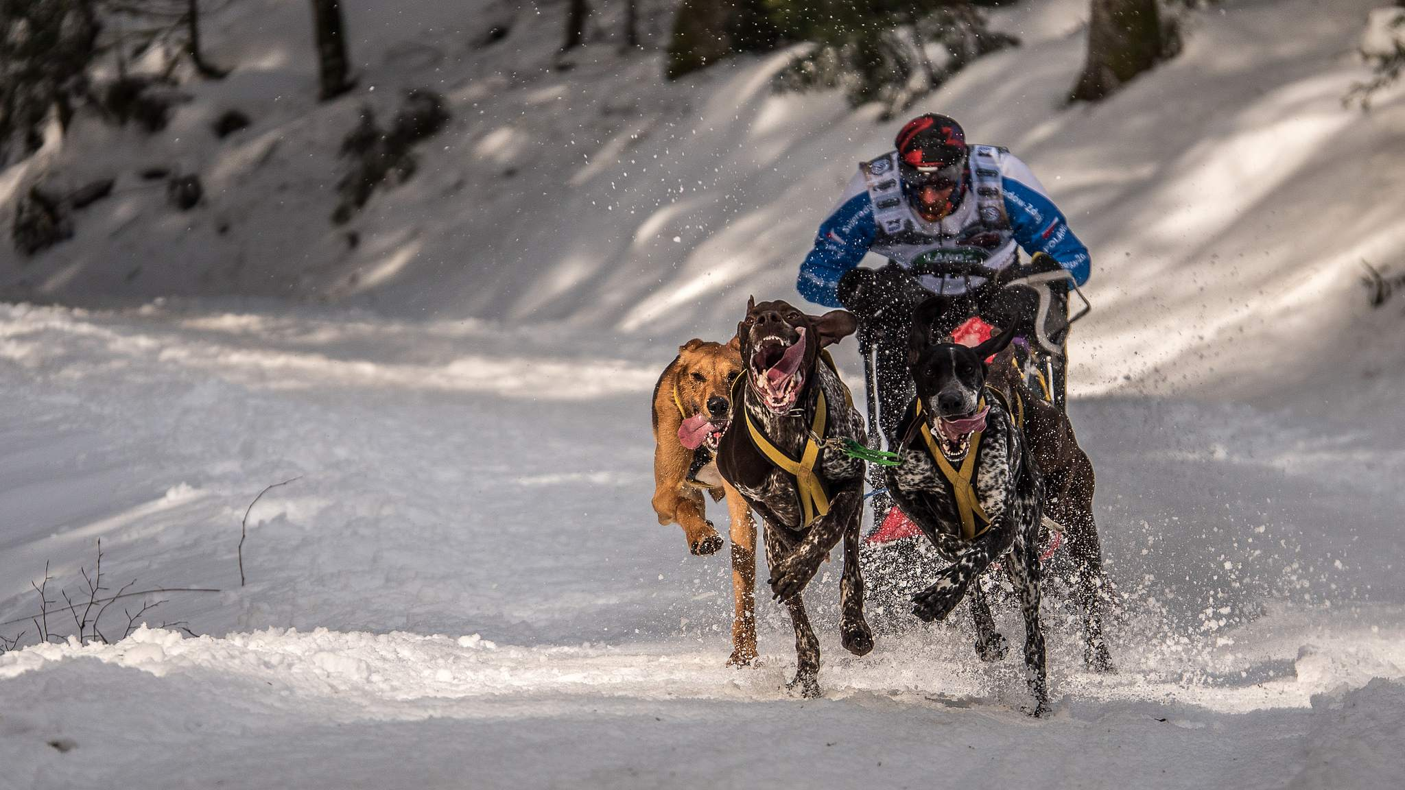 sled dog3 The World Championship of Sled Dog in Black Forest, Germany
