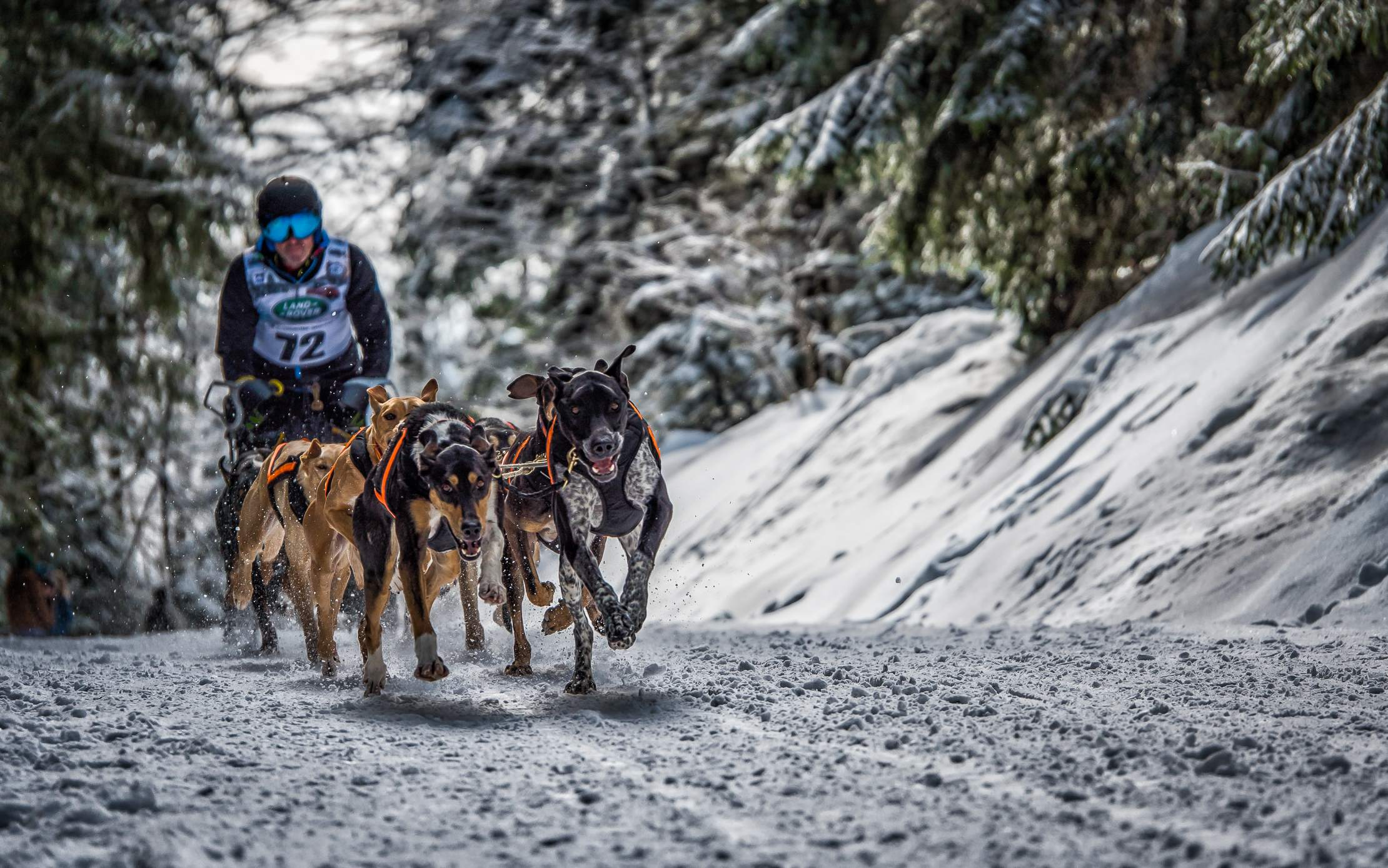 sled dog5 The World Championship of Sled Dog in Black Forest, Germany