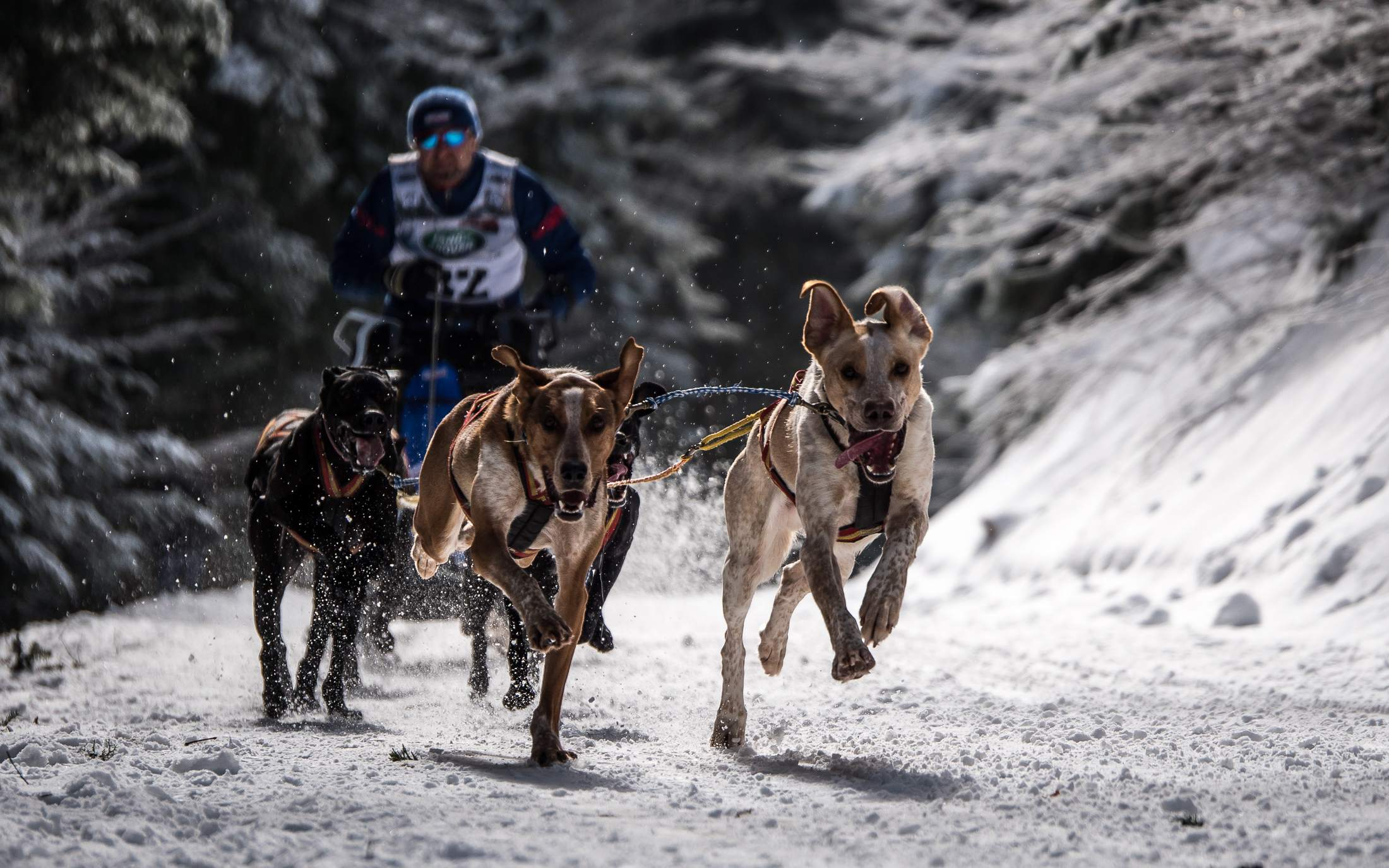 sled dog7 The World Championship of Sled Dog in Black Forest, Germany