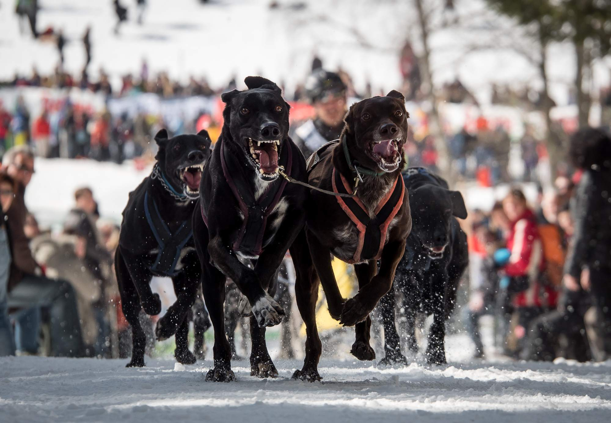 sled dog8 The World Championship of Sled Dog in Black Forest, Germany