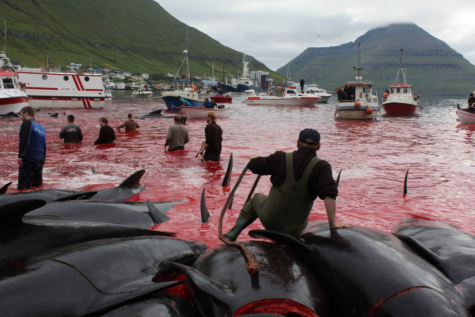 whaling4 Whale Drive at Faroe Islands