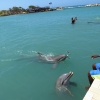 Swimming with Dolphins in Jamaica