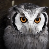 Most Interesting Eyes Of A Night Owl