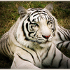 The Myth Of White Tiger