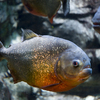 Red Belly Piranhas Care