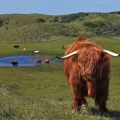 Highland Cattle with Long Wavy C...