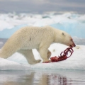 What Do Polar Bears Eat ?