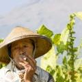 Tobacco Ready for Harvest in Cen...