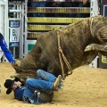 Little Boy Dreams About Pro Bull...