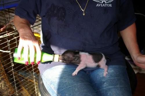 micro pig 01 500x332 Micro Mini Pigs Pets