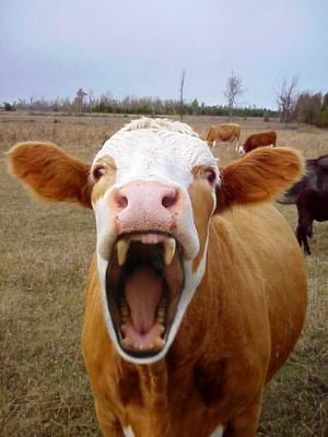 vacas são mais mortais que tubarões