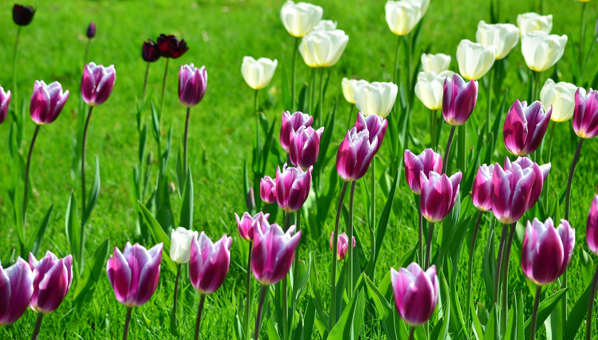 hever castle10 Tulip Festival  at Hever Castle, Kent