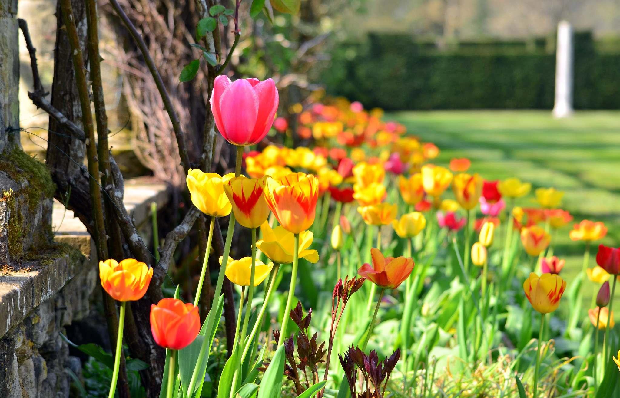 hever castle9 Tulip Festival  at Hever Castle, Kent
