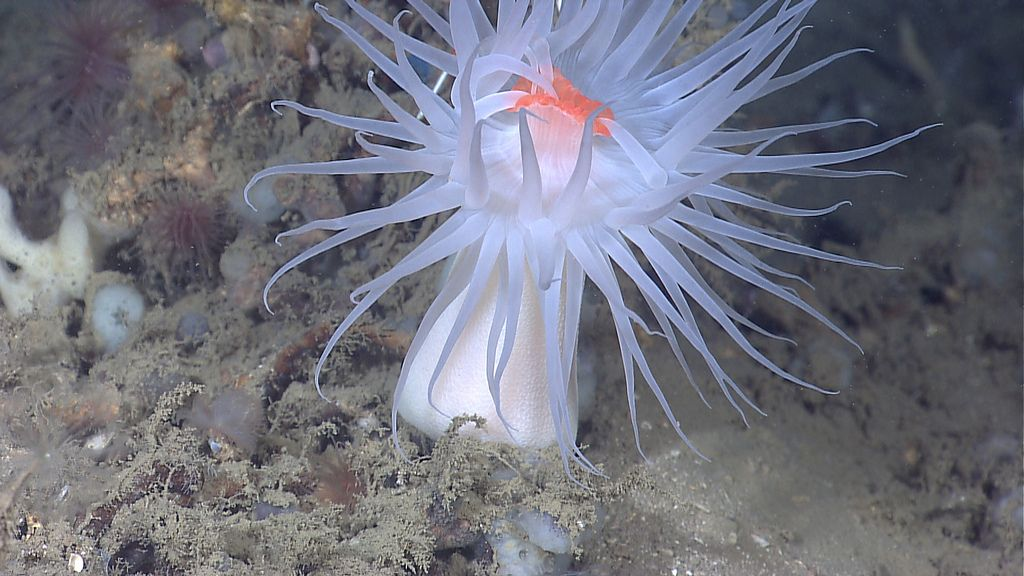 anemone5 Abyssal Anemones