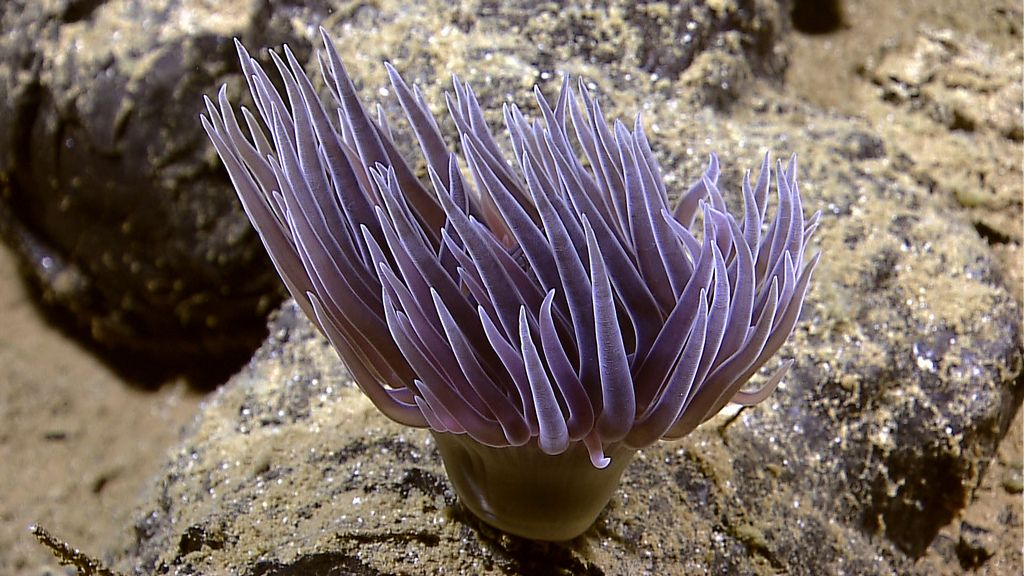 anemone8 Abyssal Anemones