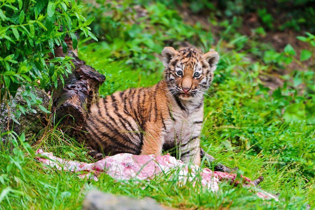 tiger cubs16 Adorable Siberian Tiger Cubs