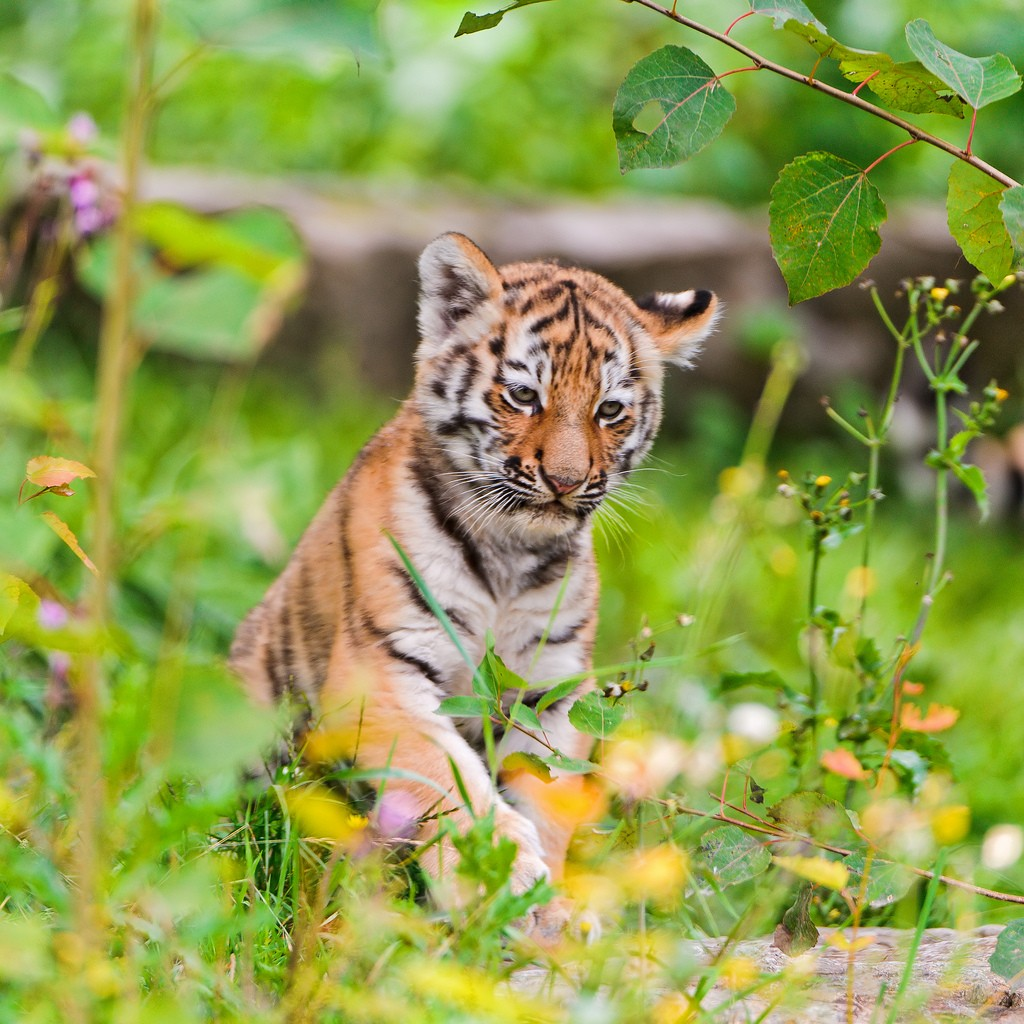 tiger cubs17 Adorable Siberian Tiger Cubs