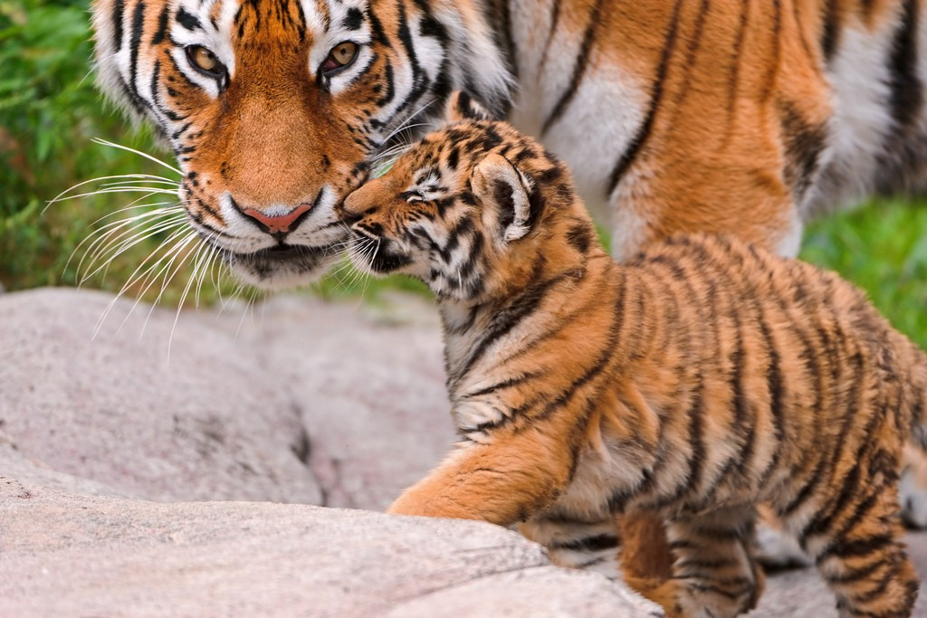 tiger cubs18 Adorable Siberian Tiger Cubs