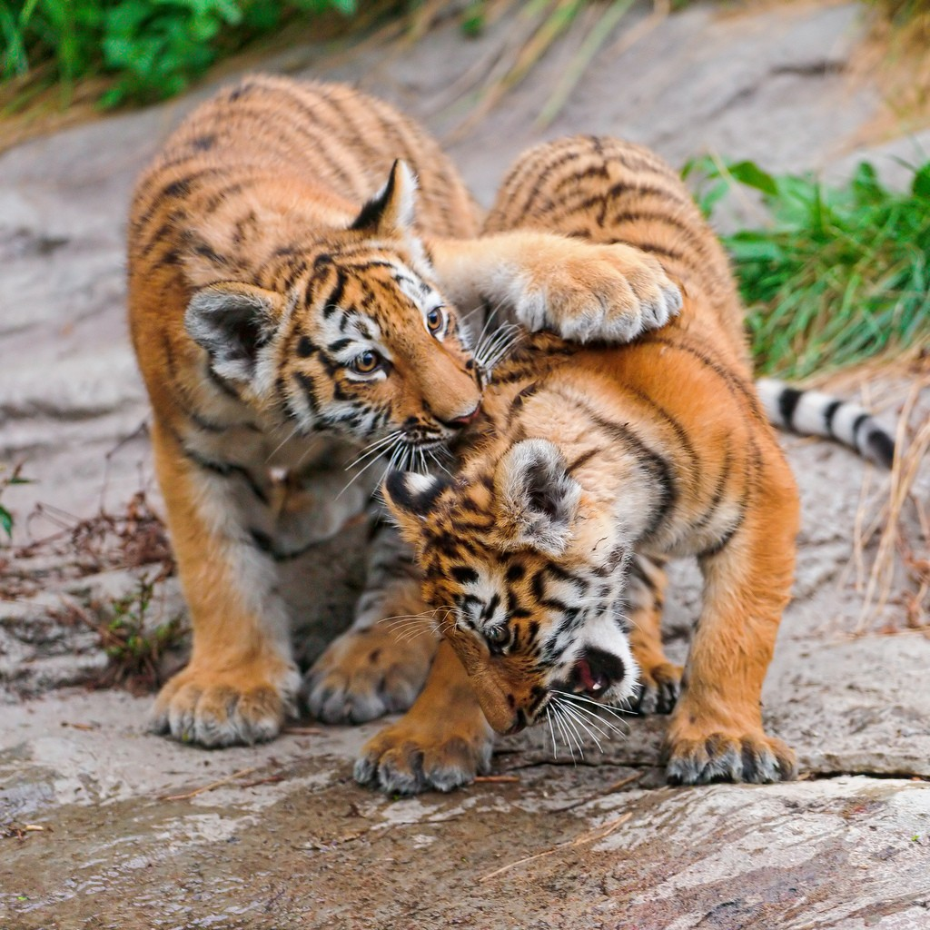 tiger cubs2 Adorable Siberian Tiger Cubs