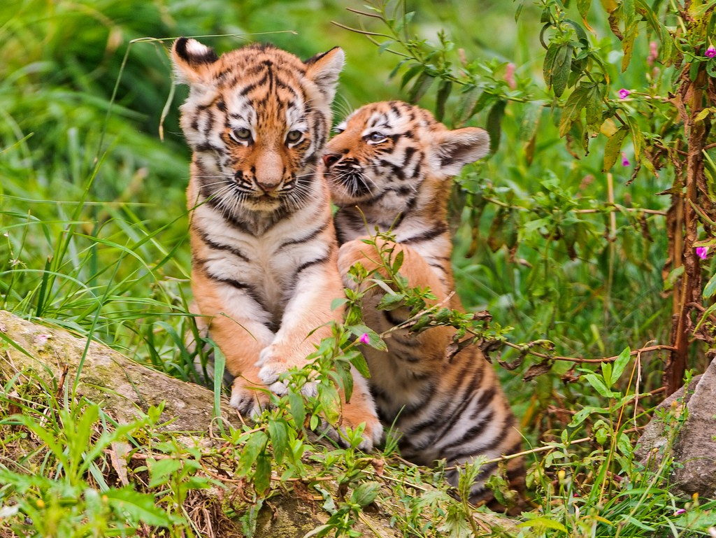 tiger cubs7 Adorable Siberian Tiger Cubs