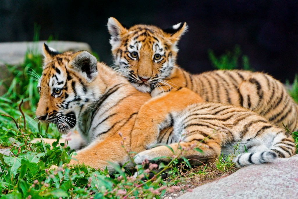 tiger cubs9 Adorable Siberian Tiger Cubs