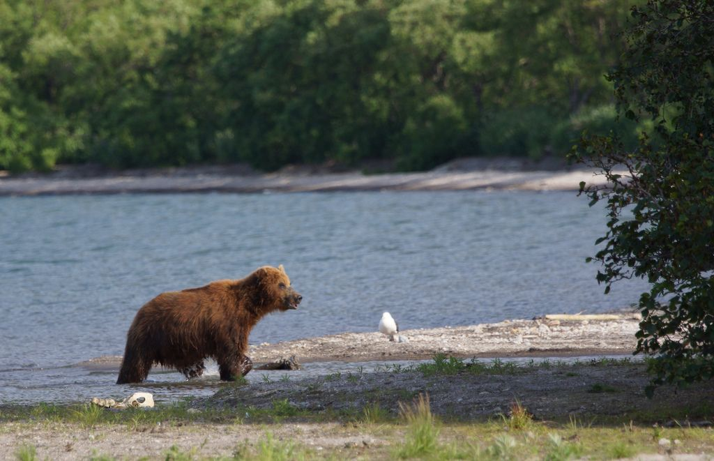 brown bear8 Bear Fishing Near Kurilskoye Lake in Kamchatka
