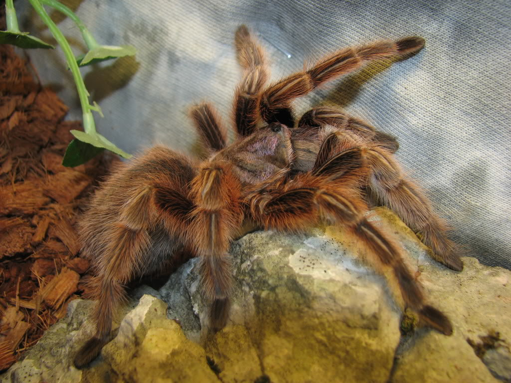 rose tarantulas7 Chilean Rose Hair Tarantula