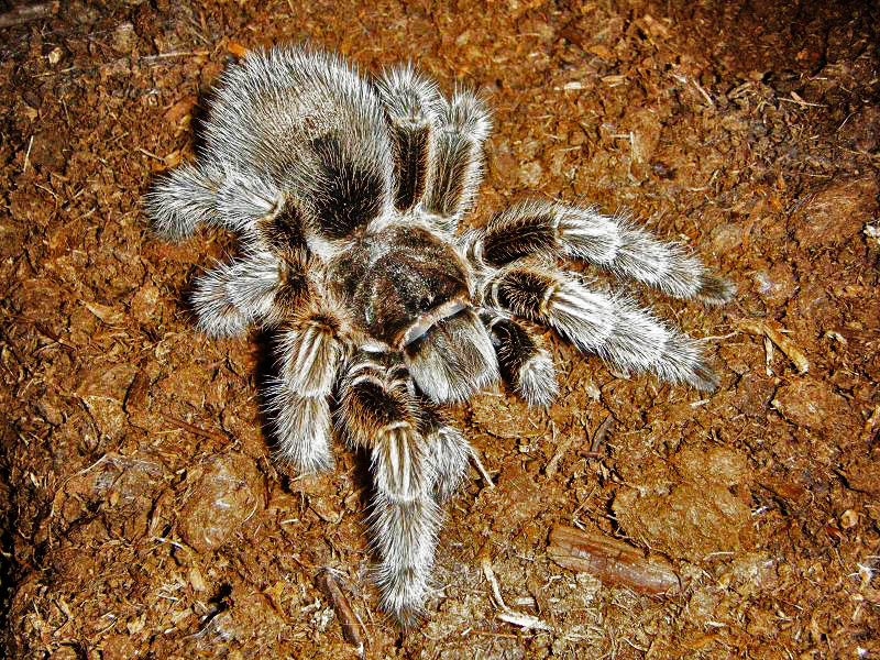 rose tarantulas9 Chilean Rose Hair Tarantula