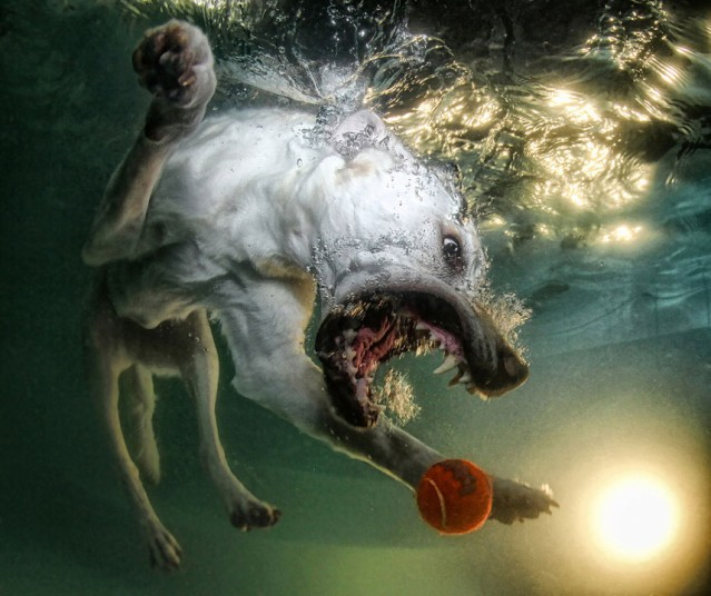cute dog6 Cute Dogs Underwater by Seth Casteel