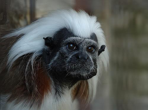 monkey face3 Funny Monkey Face Pics