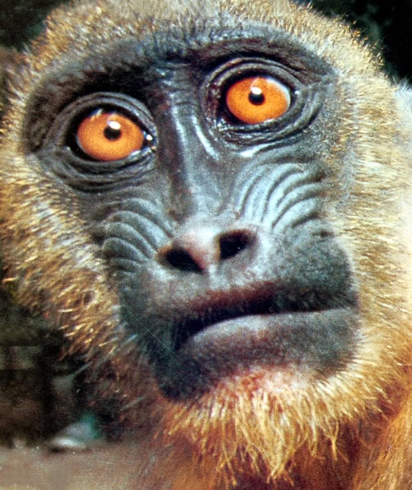 monkey face6 Funny Monkey Face Pics