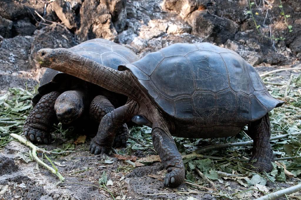 galapagos gaint tortoise3 Galapagos Gaint Tortoise