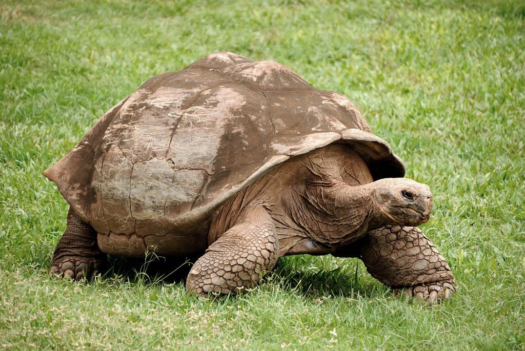 galapagos gaint tortoise6 Galapagos Gaint Tortoise
