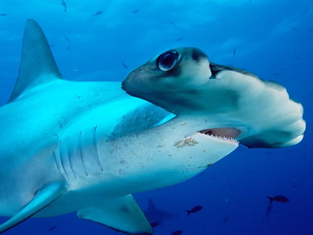 hammerhead shark Hammerhead Shark   Predator of the Seas