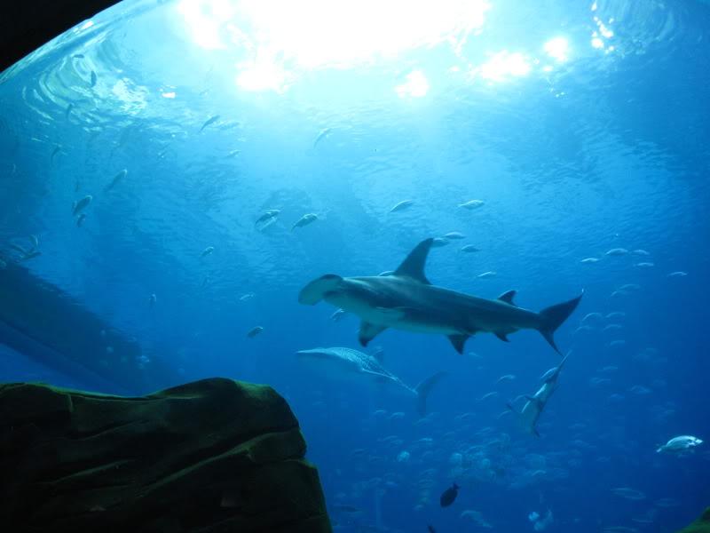 hammerhead shark10 Hammerhead Shark   Predator of the Seas