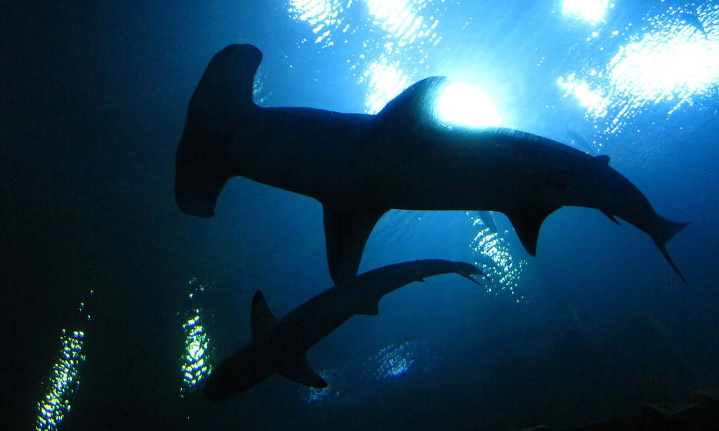 hammerhead shark11 Hammerhead Shark   Predator of the Seas