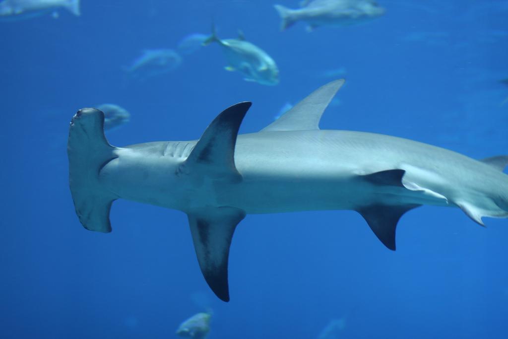 hammerhead shark12 Hammerhead Shark   Predator of the Seas