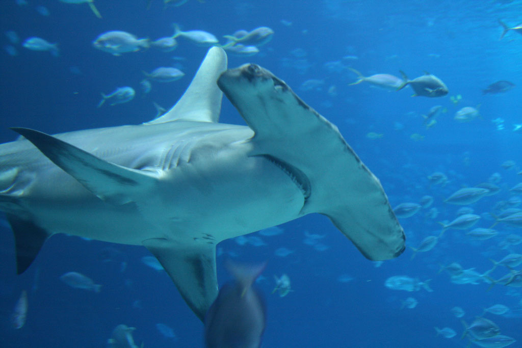 hammerhead shark15 Hammerhead Shark   Predator of the Seas