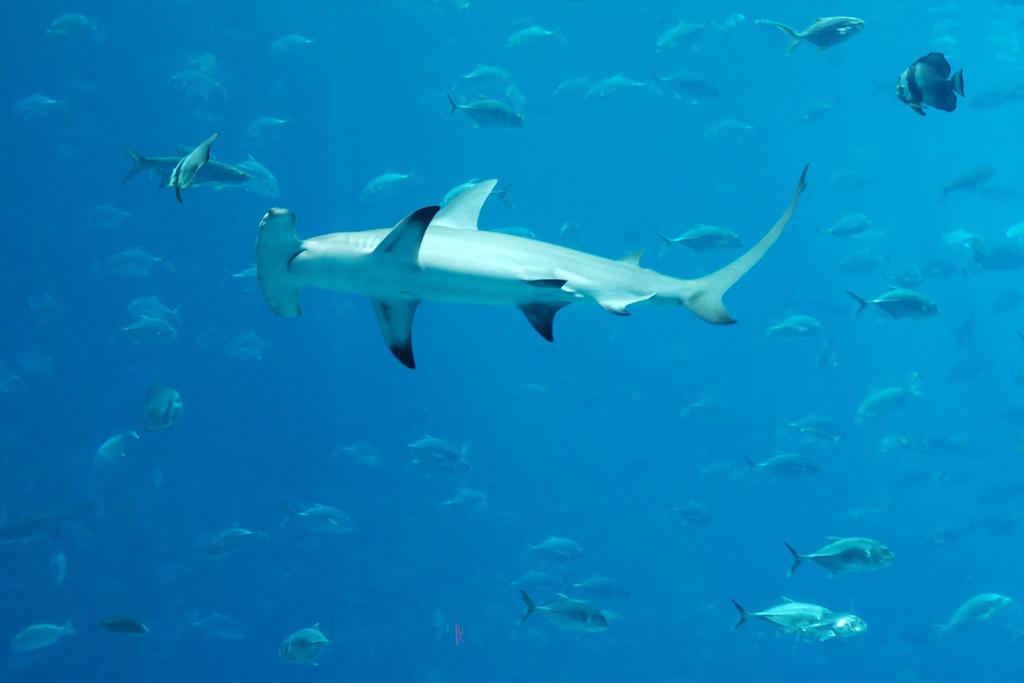 hammerhead shark16 Hammerhead Shark   Predator of the Seas
