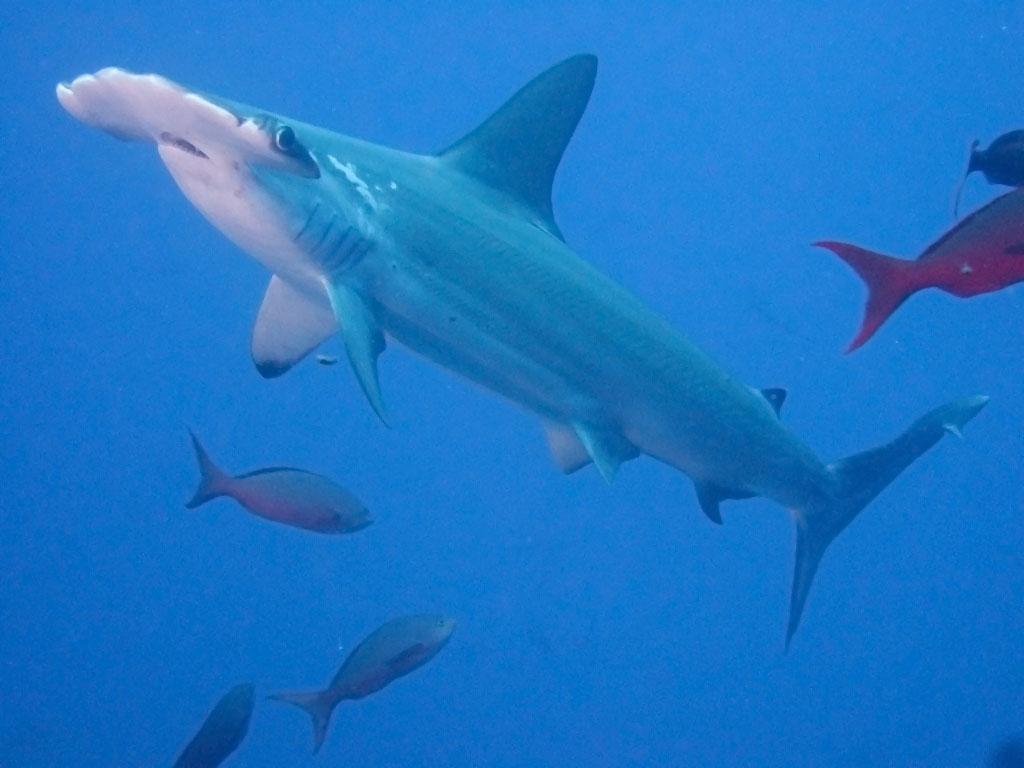 hammerhead shark17 Hammerhead Shark   Predator of the Seas