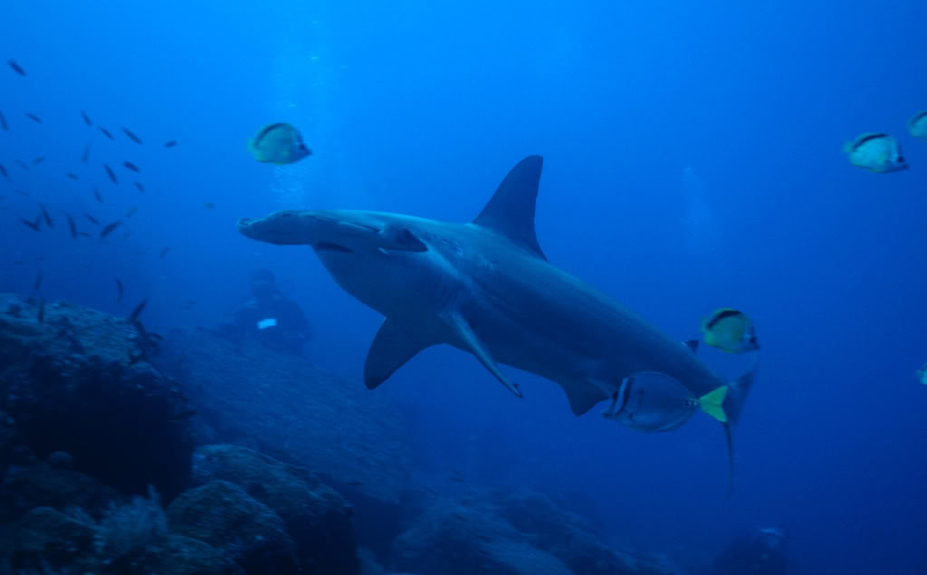 hammerhead shark3 Hammerhead Shark   Predator of the Seas