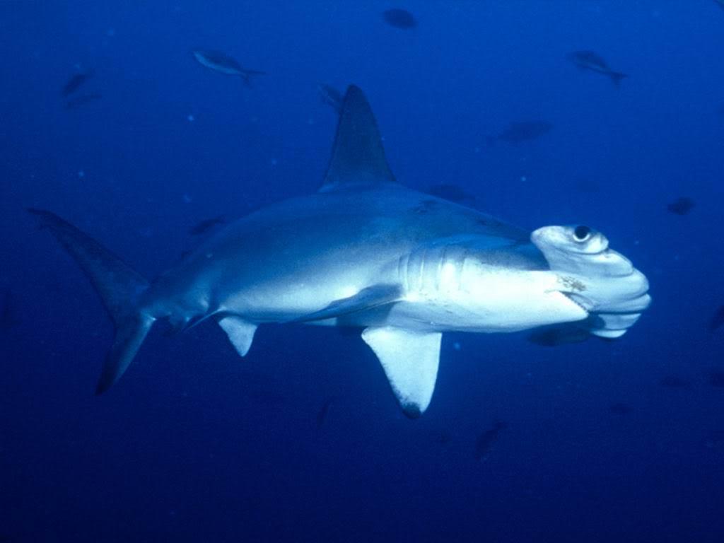 hammerhead shark6 Hammerhead Shark   Predator of the Seas