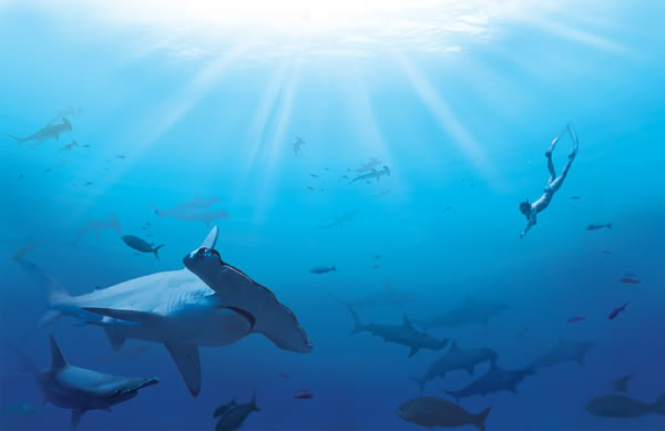 hammerhead shark8 Hammerhead Shark   Predator of the Seas