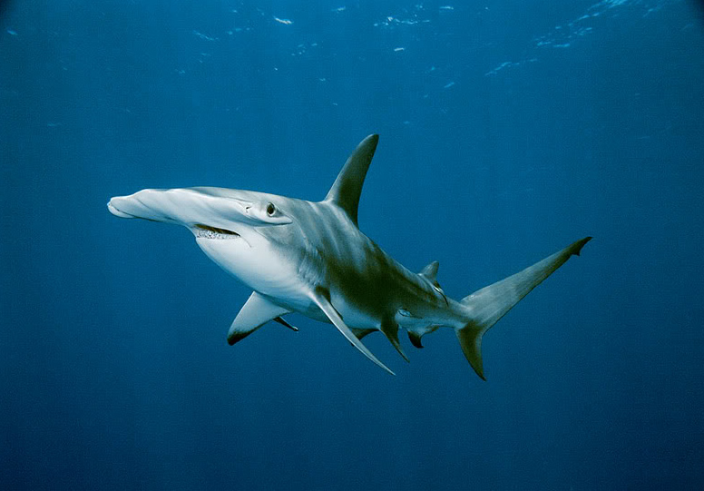 hammerhead shark9 Hammerhead Shark   Predator of the Seas