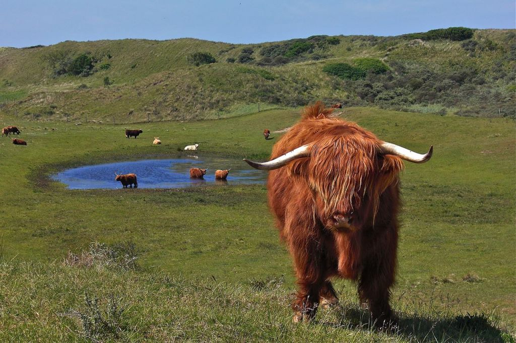 highland cattle Highland Cattle with Long Wavy Coat