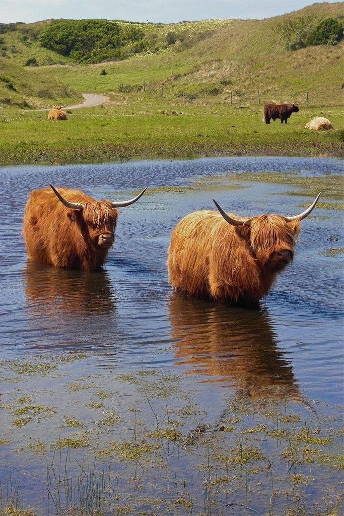 highland cattle8 Highland Cattle with Long Wavy Coat